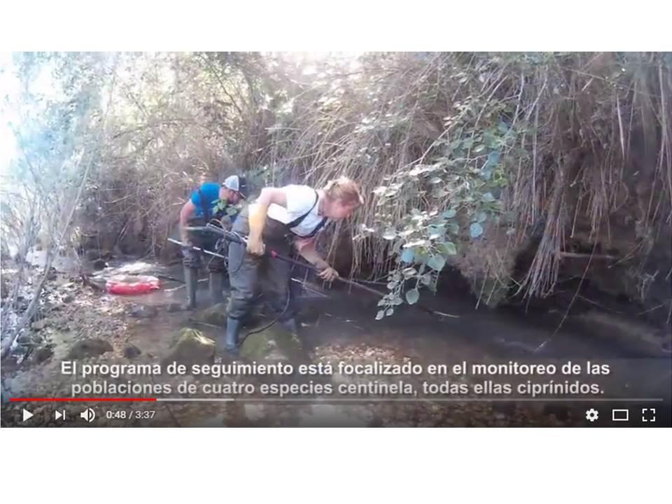 Ver la imagen en tamaño real. Vídeo del proyecto LIFE+SEGURARIVERLINK sobre los muestreos de peces