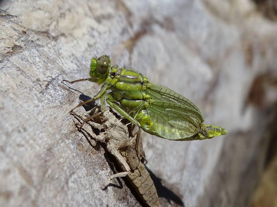 Ver la imagen en tamaño real. Detectamos la emergencia de Gomphus simillimus, una libélula escasamente conocida en la cuenca del Segura