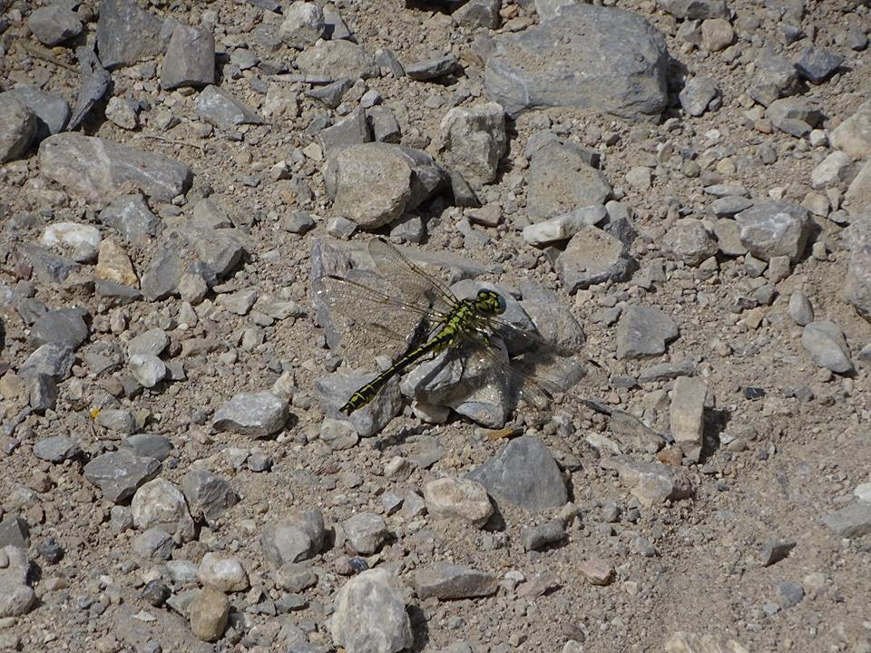 Ver la imagen en tamaño real. Detectada una nueva localidad de Gomphus simillimus en Abarán