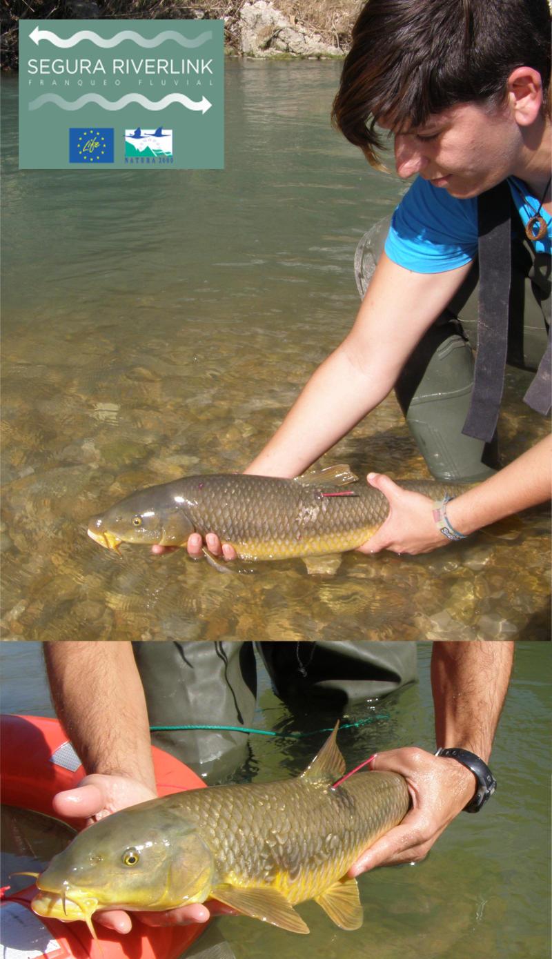 Ver la imagen en tamaño real. Iniciado el Programa de marcaje de peces del  LIFE+ SEGURA RIVERLINK