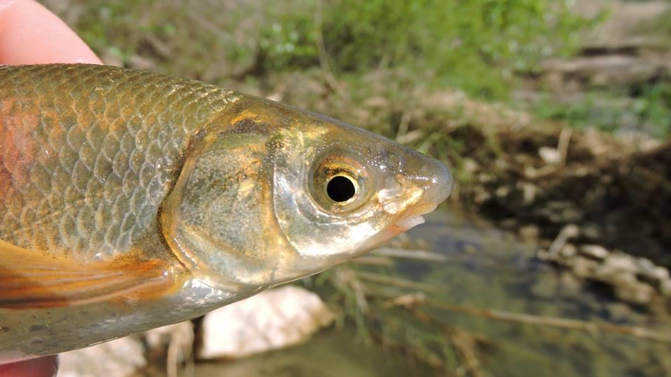 Ver la imagen en tamaño real. Los muestreos del LIFE+SEGURARIVERLINK en las escalas detectan peces en celo