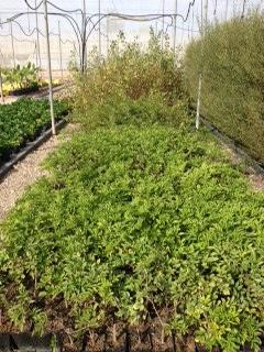 Ver la imagen en tamaño real. Producción de planta autóctona para la recuperación de las riberas