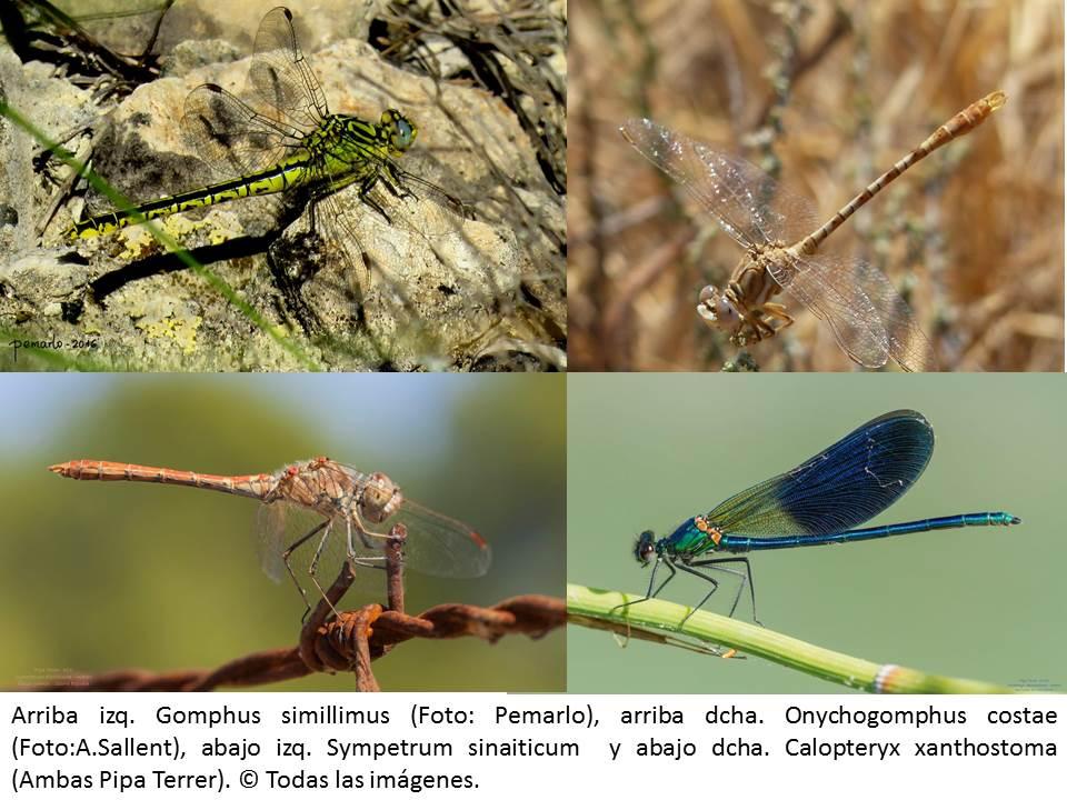 Ver la imagen en tamaño real. El LIFE + SEGURA RIVERLINK pone de manifiesto la importancia del Río Segura para la conservación de las libélulas ibéricas