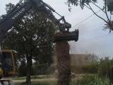 Ver imagen a tamaño original: Una de las palmeras eliminadas ayer en el municipio de Murcia