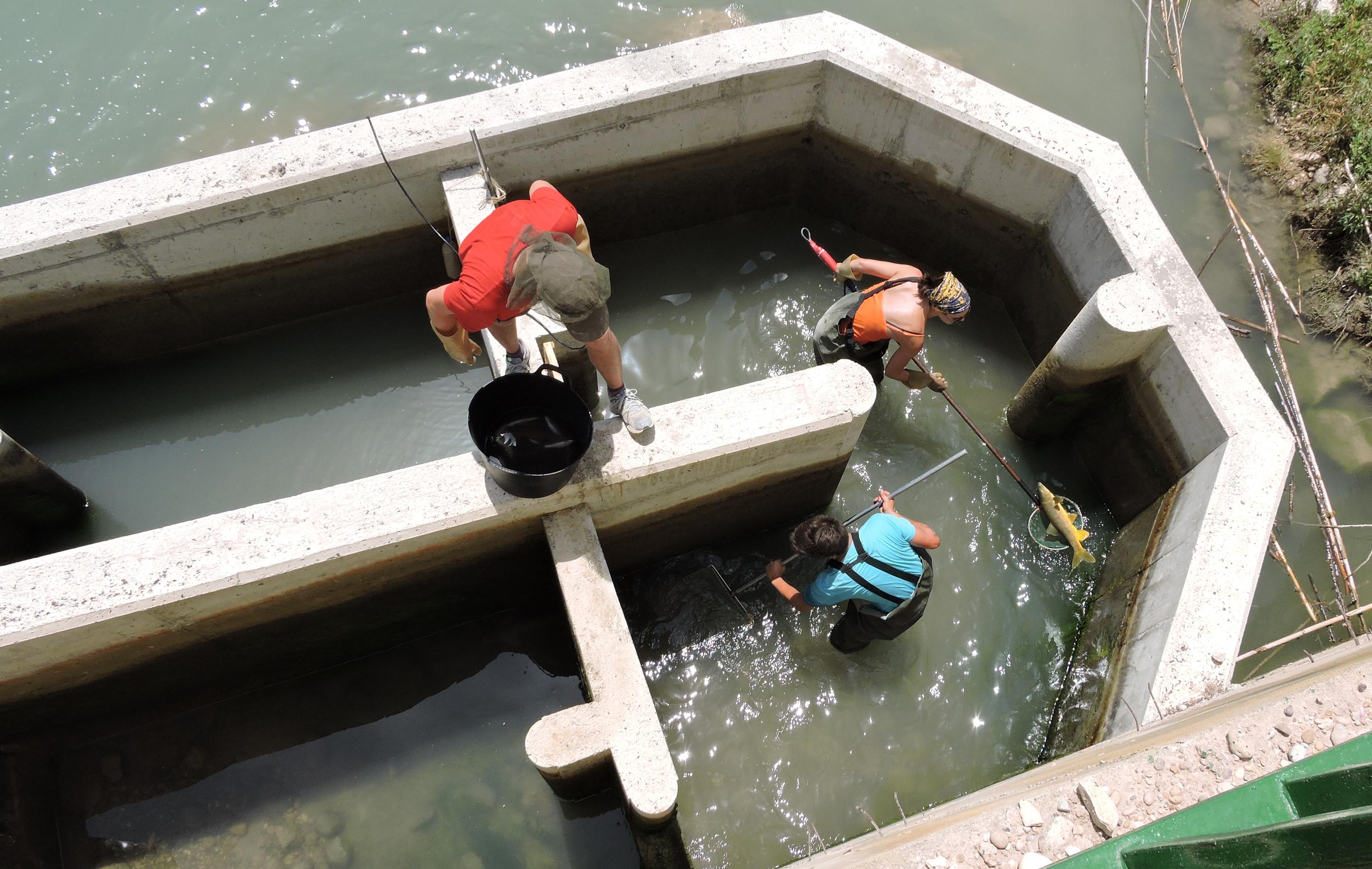 Ver la imagen en tamaño real. Más de 3.000 peces han utilizado ya las escalas construidas por la CHS para conectar el río Segura